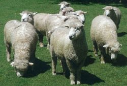 Group of Breeding Rams