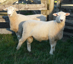 Breeding Rams